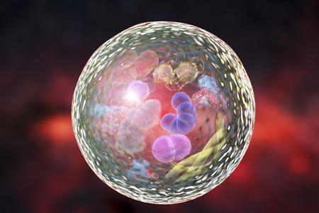 Mechanism of cellular authophagy, illustration for Nobel Prize Award in Medicine 2016. 3D illustration showing destruction of microbes and molecules inside autolysosome Stock Photo