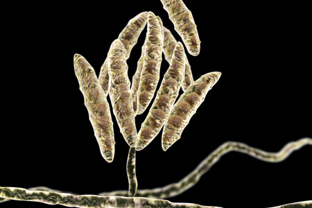 mould: Fungi Fusarium which produce mycotoxins in cereal crops that affect humans and animals, 3D illustration showing conidia and hyphae