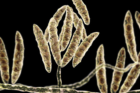 mycology: Fungi Fusarium which produce mycotoxins in cereal crops that affect humans and animals, 3D illustration showing conidia and hyphae