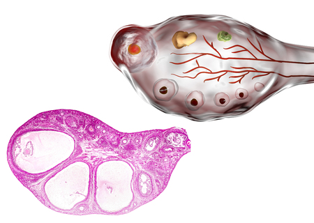 cortex: Transverse section of an ovary showing primordial, primary and secondary follicules. Light microscopy, hematoxylin and eosin stain, magnification 200x and 3D illustration