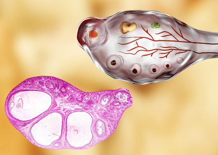 transverse: Transverse section of an ovary showing primordial, primary and secondary follicules. Light microscopy, hematoxylin and eosin stain, magnification 200x and 3D illustration