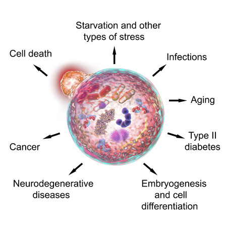 Pathological and physiological functions of autophagy. Illustration for Nobel Prize Award in Medicine 2016. 3D illustration showing fusion of lysosome with autophagosome containing microbes and molecules