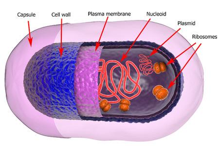 Structuur van de bacteriële cel op een witte achtergrond, 3D illustratie