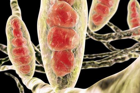 菌の白癬菌。分生子多細胞体および培養菌糸糸状構造、3 D イラストレーション。水虫の白癬足と頭皮白癬白癬 capitus を引き起こす 写真素材