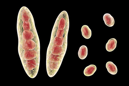 spore: Fungus Trichophyton mentagrophytes. Macroconidia multi-celled bodies and microconidia with one spore , 3D illustration. Causes athletes foot Tinea pedis and scalp ringworm Tinea capitus
