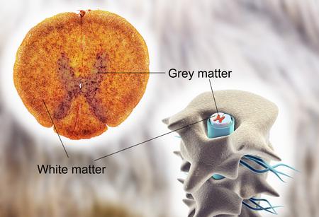medula espinal: la médula espinal, la sección transversal. micrografía de luz y la ilustración en 3D que muestra la blanca y la materia gris con dorsal y ventral cuernos