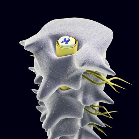 medula espinal: la columna vertebral humana con la médula espinal. Ilustración 3D que muestra la blanca y la materia gris con dorsal y ventral cuernos en la médula espinal