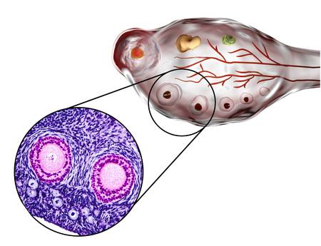 Ovarian follicles. Light microscopy, hematoxylin and eosin stain, magnification 200x and 3D illustration