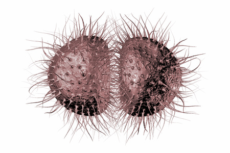 meningococcus: Bacteria Neisseria gonorrhoeae or Neisseria meningitidis, gonococcus and meningococcus, 3D illustration. Bacteria which cause gonorrhoeae. Bacteria which cause meningitis