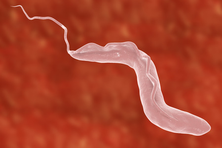 Trypanosoma brucei which is transmitted by tse-tse fly and causes African sleeping sickness, 3D illustration