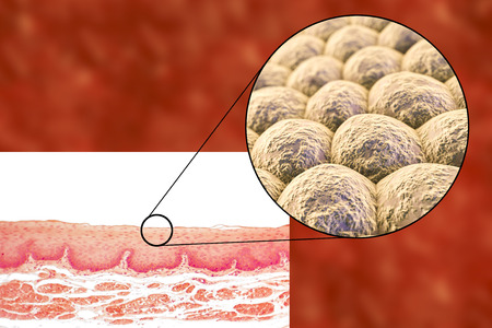 microscopical: Layer of cells, light micrograph and 3D illustration. Non-keratinized stratified squamous epithelium Stock Photo