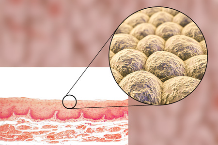 squamous: Layer of cells, light micrograph and 3D illustration. Non-keratinized stratified squamous epithelium Stock Photo