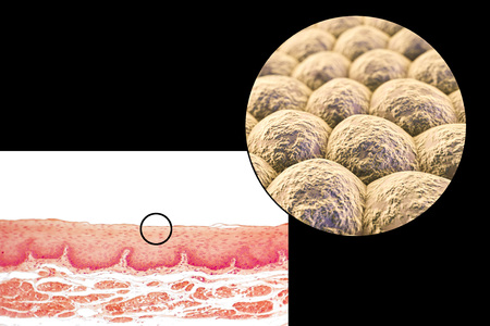 Layer of cells, light micrograph and 3D illustration. Non-keratinized stratified squamous epithelium Stock Photo
