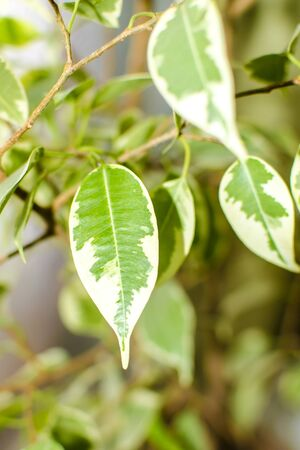 pipal: Ficus tree, close-up photo of leaves. Natural background Stock Photo