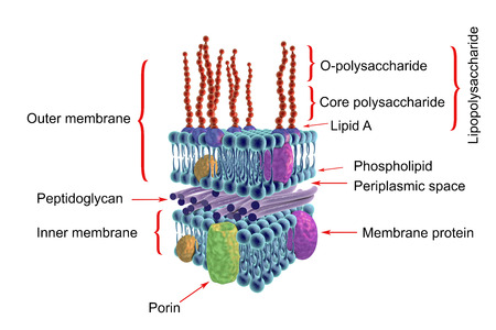 Structure of cell wall of Gram-negative bacteria, labeled, 3D illustration