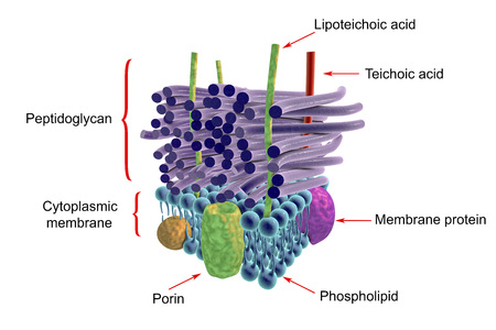 Structure of cell wall of gram negative bacteria labeled 3d 70339648 structure of cell wall of gram positive bacteria labeled 3d illustration ccuart Choice Image