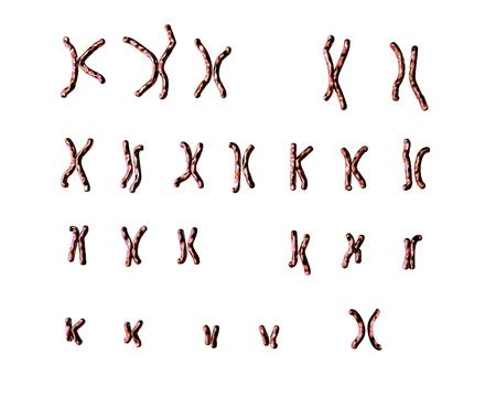 Normal human female karyotype, unlabeled. 3D illustration