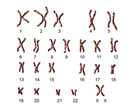 Normal human female karyotype, labeled. 3D illustration