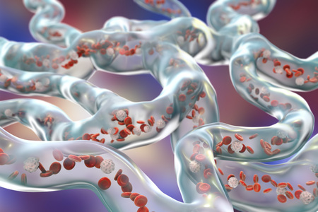 capillaries: Network of blood vessels, capillaries with flowing blood cells, 3D illustration