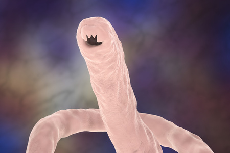 Head of a parasitic hookworm Ancylosoma, 3D illustration. Ancylostoma duodenale can infect humans, dogs and cats, its head has several tooth-like structures