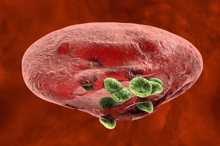 protozoan: Malaria. Release of malaria parasites from red blood cell. Merozoites, 3D illustration Stock Photo