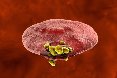 Malaria. Release of malaria parasites from red blood cell. Merozoites, 3D illustration Stock Photo
