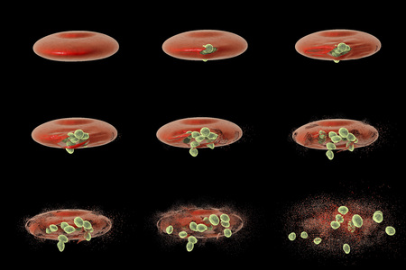 protozoan: Malaria. Series of images showing release of malaria parasites from red blood cell, 3D illustration