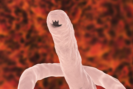 infestation: Head of a parasitic hookworm Ancylosoma, 3D illustration. Ancylostoma duodenale can infect humans, dogs and cats, its head has several tooth-like structures
