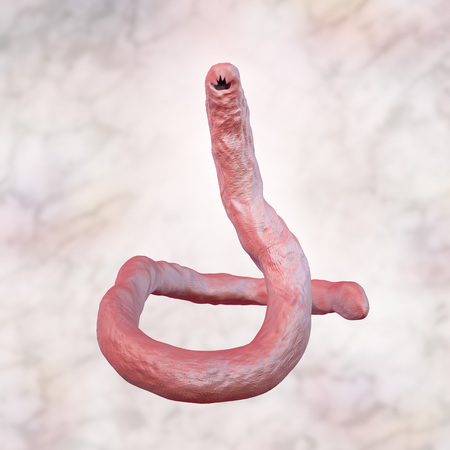 infestation: Parasitic hookworm Ancylosoma, 3D illustration. Ancylostoma duodenale can infect humans, dogs and cats, its head has several tooth-like structures Stock Photo