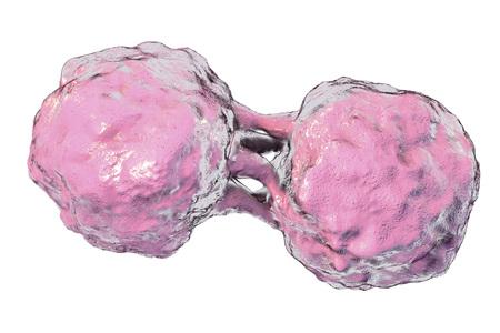 Dividing stem cells isolated on white background, 3D illustration Stock Photo