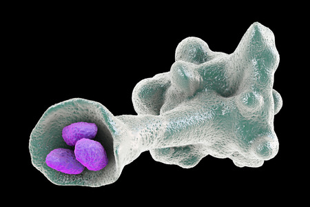 Amoeba protozoan engulfing bacteria isolated on black background, 3D illustration