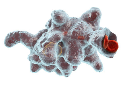 Entamoeba histolytica protozoan engulfing red blood cells. Parasite which causes amoebic dysentery and ulcers, 3D illustration