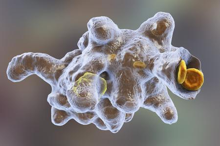 ameba: Entamoeba histolytica protozoario engullendo glóbulos rojos. Parásito que causa disentería amebiana y úlceras. Tiene la capacidad de engullir los glóbulos rojos y se llama erythrophage ilustración 3D