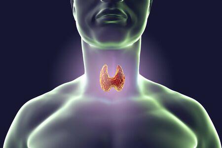 endocrinology: Thyroid gland inside human body. 3D illustration Stock Photo
