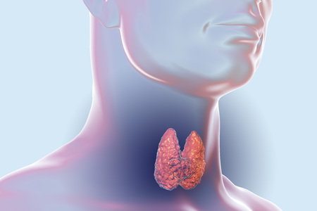 Thyroid gland inside human body. 3D illustration Standard-Bild