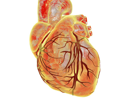 Human heart with heart vessles isolated on white background, 3D illustration Stock Photo