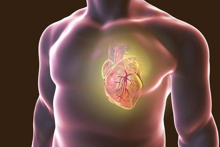 Corazón Humano Con Vessles Corazón Dentro Del Cuerpo Humano Y ECG ...