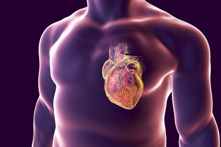 Human Heart With Heart Vessles Inside Human Body, 3D Illustration ...