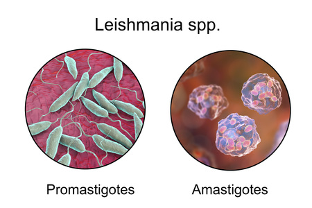 protozoan: Two forms of Leishmania parasites, flagellated promastigotes found in sandfly and laboratory media, and non-flagellated amastigotes found inside macrophages. 3D illustration