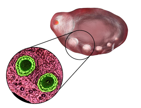 fertility: Transverse section of an ovary showing primordial, primary and secondary follicles. Light microscopy, hematoxylin and eosin stain, magnification 200x and 3D illustration Stock Photo