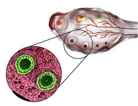 원시, 기본 및 보조 모낭을 보여주는 난소의 횡단면. 광학 현미경, 헤 마톡 실린 및 에오신 얼룩, 배율 200x 및 3D 일러스트 스톡 콘텐츠