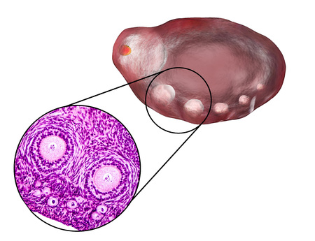 Transverse section of an ovary showing primordial, primary and secondary follicles. Light microscopy, hematoxylin and eosin stain, magnification 200x and 3D illustration Stock Photo