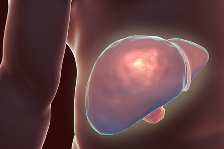 Liver with gall bladder inside human body, 3D illustration