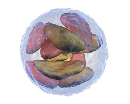 cns: Parasitic protozoans Toxoplasma gondii in bradyzoites stage inside tissue cyst, 3D illustration