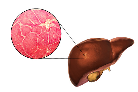 Liver isolated on white background and liver tissue under microscope, 3D illustration and micrograph