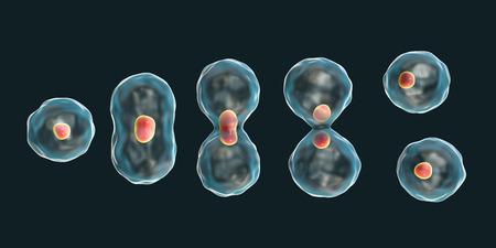 Division of a cell, mitosis concept, 3D illustration Foto de archivo