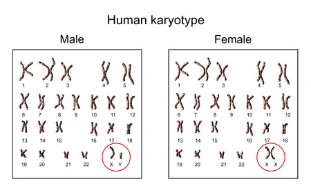 Human chromosomes. Male and female karyotype, 3D illustration Banco de Imagens - 84511262