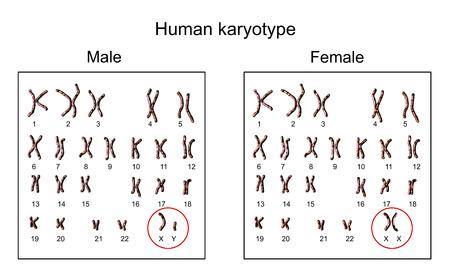 Human chromosomes. Male and female karyotype, 3D illustration