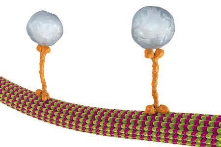 Intracellular transport, kinesin motor proteins, orange, transport molecules moving across microtubules, 3D illustration