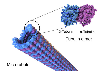 dimer: Structure of a microtubule, 3D illustration. Microtubule is composed of a protein tubulin, it is component of cytoskeleton involved in intracellular transport, cellular mobility and nuclear division Stock Photo